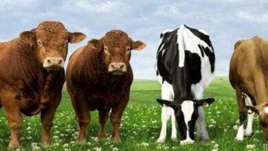 Şekerbank Hayvancılık Kredisi